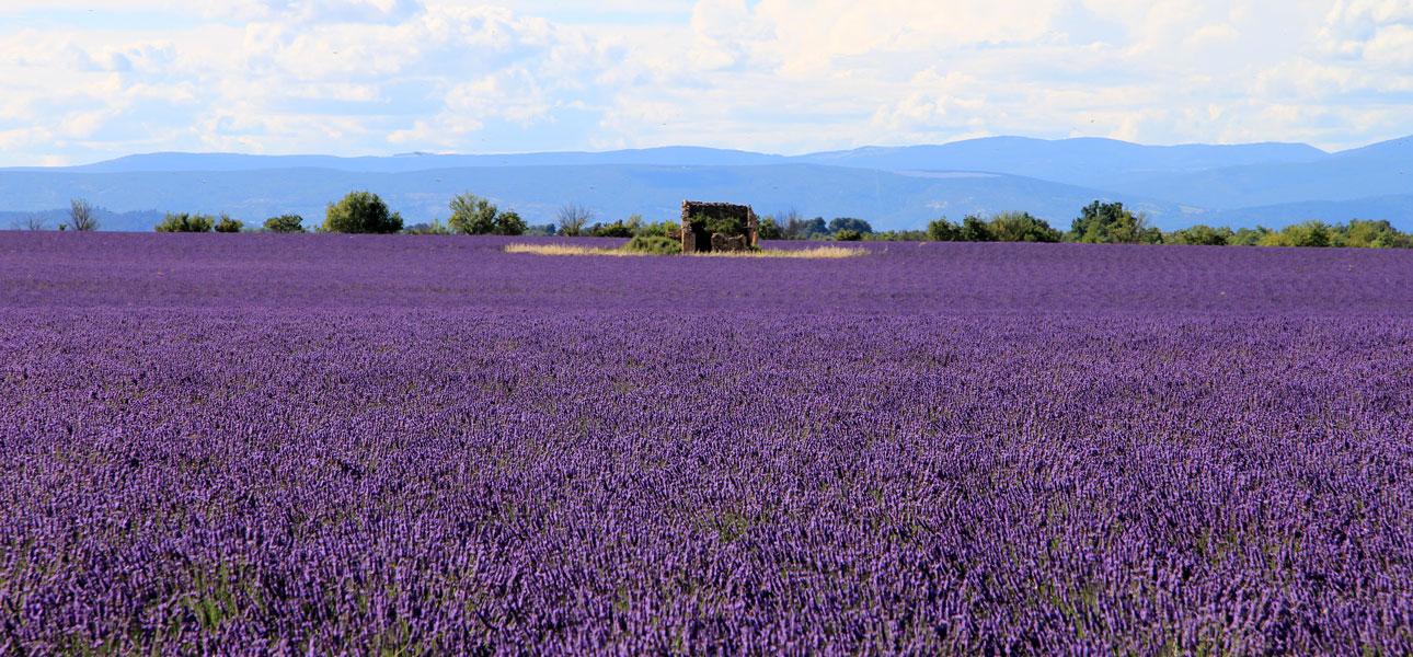 Sur le plateau de Valensole, dans les Alpes de Haute-Provence