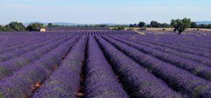 Sur le plateau de Valensole dans les Alpes de Haute-Provence